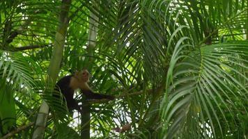 capuchin apa klättring på palm gren, manuel antonio, costa rica. skott på red epic för högkvalitativ 4k, uhd, ultra hd upplösning. video