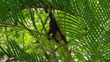 capuchin apa klättring, manuel antonio, costa rica. skott på red epic för högkvalitativ 4k, uhd, ultra hd upplösning. video