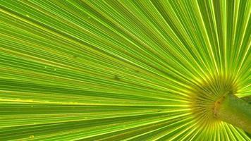 textura closeup ramo de palmeira video