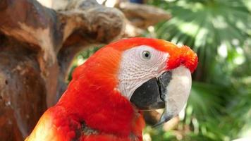 close up da foto da arara vermelha na selva video