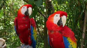 dois papagaios de arara vermelha video