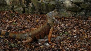iguane dans la forêt tropicale video