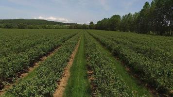 foto aérea de fazenda de mirtilo video