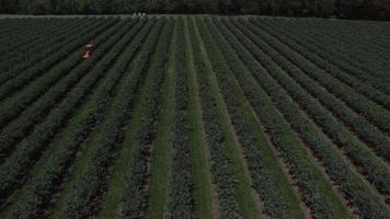 vista aérea do trator ceifando e pulverizando o campo de mirtilo video