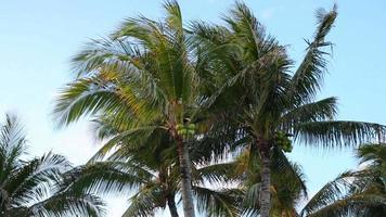 les palmiers se balancent dans le vent dans un complexe tropical video
