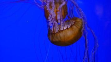 primo piano subacqueo di meduse video