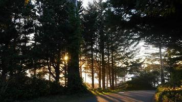kvällssolljus genom höga träd video
