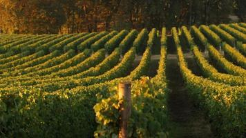 Pan a través de hileras de viñedos a la luz de la mañana, Willamette Valley Oregon video