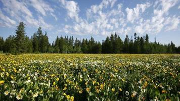 4k Zeitraffer, Feld mit gelben Blumen im Yellowstone-Nationalpark video