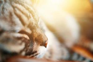 Hocico de un gato doméstico rayado gris cerrar foto