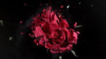 rote Rosenblume explodiert in Super-Zeitlupe, aufgenommen mit Phantom-Flex 4k video