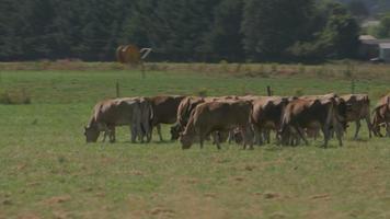 carrellata di bestiame marrone al pascolo in campo, willamette valley oregon, usa. video