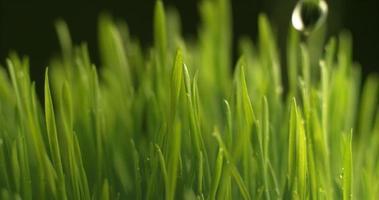 Water dripping onto grass in super slow motion.  Shot on Phantom Flex 4K high speed camera. video