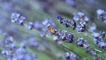 miel de abeja y lavanda en cámara lenta, rodada en phantom flex 4k video