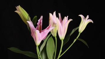 Coup de time lapse 4k de fleur de lys rose qui fleurit video