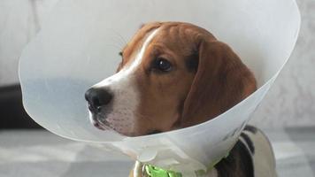 Beagle Dog in A Protective Collar Sick video