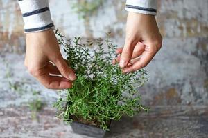 Woman's hands holding a branch of thyme in a pot photo