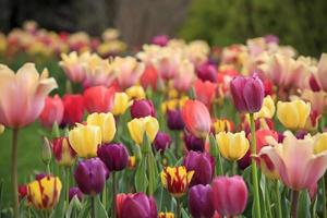 Colorful tulips in a flower patch in a garden in the spring photo