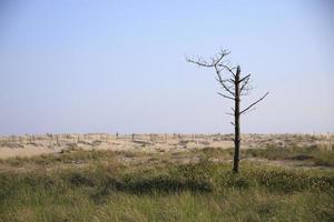 Dead tree in a grassy field near sand dunes photo