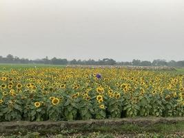 Beautiful sunflowers in the field photo