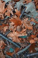 hojas marrones y piñas en temporada de invierno foto
