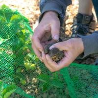 Young blackbird is caught in a net on a strawberry field and is being held in his hands photo