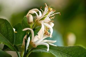 Close up of lemon blossoms in the tree photo