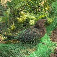 Young blackbird is caught in a net in a strawberry field photo