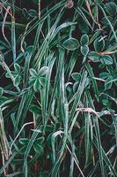 Hierba verde helada en temporada de invierno foto