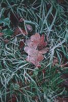 hoja marrón congelada en temporada de invierno foto