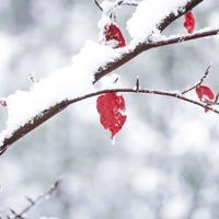 nieve en la hoja roja foto