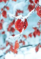 nieve en la hoja roja en invierno foto