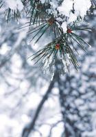 snow on the pine tree leaves photo