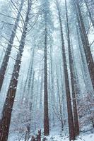 snow in the forest in winter season photo