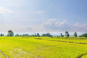campos de arroz y plántulas recién plantadas foto