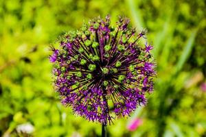 Greater garlic flower photo