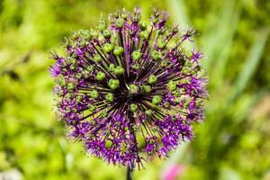 Purple allium flower photo
