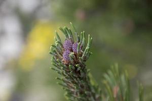 Dwarf pine cone buds photo