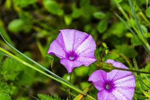 Two purple flowers photo