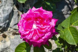 primer plano de rosa rosa foto
