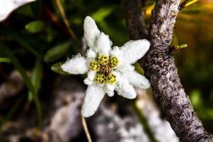 edelweiss en las montañas asiago foto