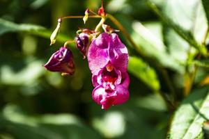 Pink wild orchids photo