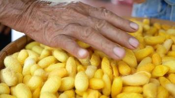 close-up de uma mão idosa segurando casulos de bicho-da-seda, a fonte de fios e tecidos de seda nas comunidades do norte da Tailândia video