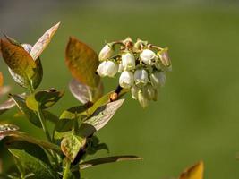 flores blancas en un arbusto de arándanos variedad aino foto