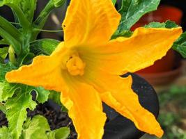 Yellow flower and developing fruit on a courgette plant photo