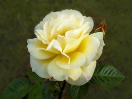 Hermosa flor de rosa amarilla y capullo en un jardín. foto