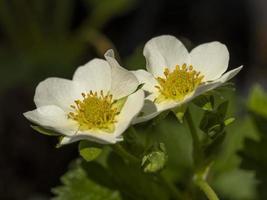 flores blancas en una variedad de plantas de fresa cariño foto