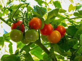 Ripe and unripe tomatoes developing on a truss photo