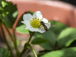 Hoverfly sobre la flor blanca de una planta de fresa foto