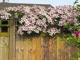 Lovely pink Clematis flowers on a wooden garden fence photo